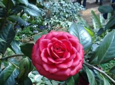 10Pcs/Pack Camellia Flowers Potted Plants Home Garden Decorations Flower Seeds
