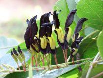 5PCS KENNEDIA nigricans Seeds Black Coral Pea Ornamental Flowers
