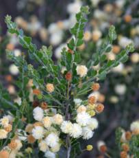5PCS ACACIA orbifolia Seeds