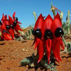 5PCS SWAINSONA formosa Seeds Sturt's Desert Pea