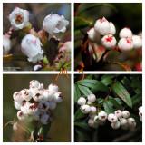 5PCS Gaultheria hispida Seeds Snowberry