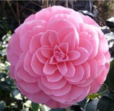 10PCS Camellia Flowers Seeds Light Pink Colors