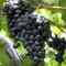 100PCS 'Little Bee' Black Grape Fruit Seeds