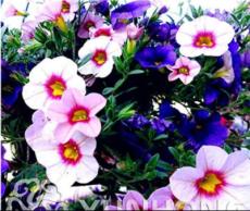 100PCS Mini Calibrchoa Million Bells Petunia Seeds