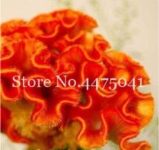 300PCS Cockscomb Flowers Seeds Dark Orange Color