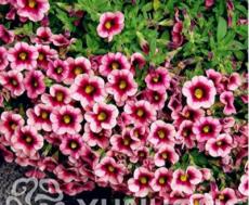 100PCS Mini Calibrchoa Million Bells Petunia Seeds - Pink Dark Rose Red Bi-color Flowers