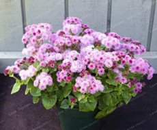 100PCS Ageratum Conyzoides Flowers Seeds Rose Red Pink 2-IN-1 Colors Flowers