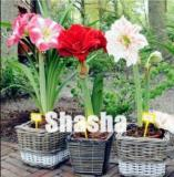 100PCS Mixed Amaryllis Seeds Red White Pinkish-White Mix Colors