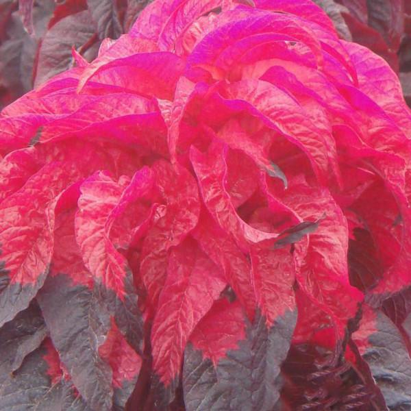 200PCS Amaranthus Tricolor Seeds Tri-color (Dark Red)