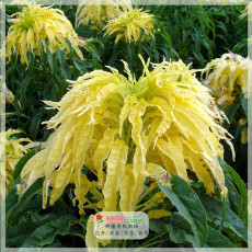 200PCS Amaranthus Tricolor Seeds  (Bright Yellow Green)