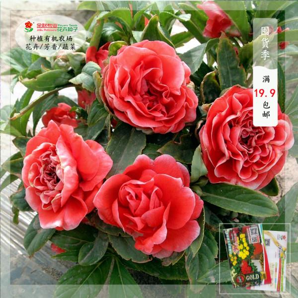 50PCS Camellia impatiens Seeds Dark Red Double Flowers