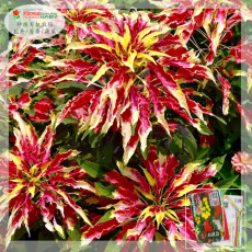 200PCS Amaranthus Tricolor Seeds Tri-color (Red Yellow Green)