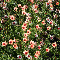 300PCS Linum usitatissimum Seeds Light Salmon Red Color Flower
