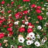 300PCS Linum usitatissimum Seeds Mixed Flower Seeds