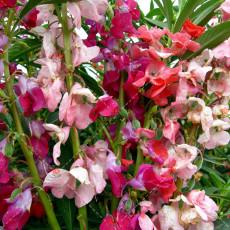 50PCS Impatiens balsamina Seeds Mixed Colors Single Petals