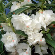 50PCS Camellia impatiens Seeds White Double Flowers