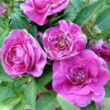 50PCS Camellia impatiens Seeds Purple Double Flowers