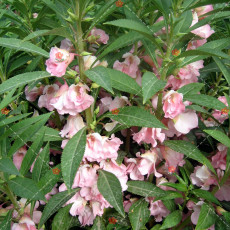50PCS Impatiens balsamina Seeds Light Pink Double Flowers
