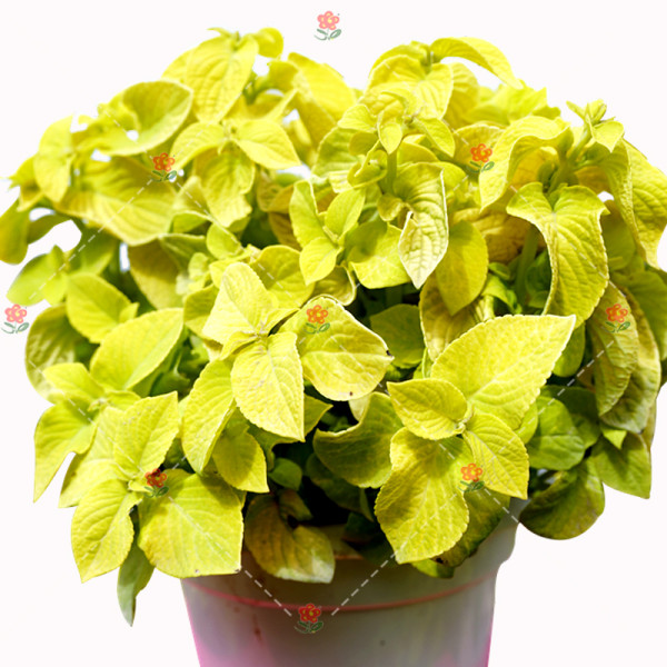 100PCS Coleus Blumei Seeds Yellow Color