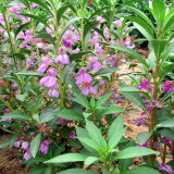 50PCS Impatiens balsamina Seeds Light Purple Double Lilac Flowers