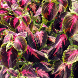 100PCS Coleus Blumei Seeds Rose Red Color with Green Leaves
