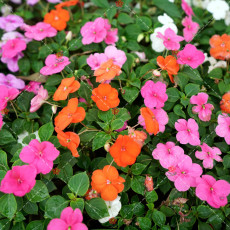 100PCS Impatiens walleriana Hook Seeds Mixed Busy Lizzy Flowers
