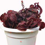100PCS Coleus Blumei Seeds Red Velvet Color