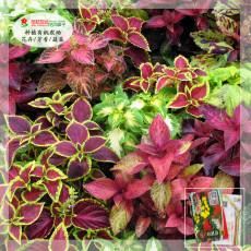 1 Gram (approx 3750 Seeds) Coleus Blumei Mixed Seeds