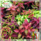 1 Gram (approx 3750 Seeds) Coleus Blumei Mixed Seeds