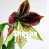 100 Amaryllis Seeds Hippeastrum Flower Seeds