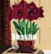 100 Dark Red Amaryllis Seeds