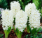 100 Fresh White Amaryllis Seeds