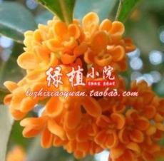 10PCS Orange Osmanthus Flower Seeds
