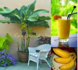 100PCS Edible Banana Tree 'Dwarf Lady Finger' (Musa acuminata) Seeds