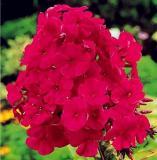 100PCS Phlox paniculata Seeds - Rose Red Colors