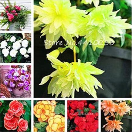 100PCS Begonia Bonsai Seeds Mixed Red White Orange Purple Orange Yellow ect 8 Colors