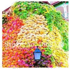 100PCS Vine Woodbine Grape Boston Ivy Seeds - Colorful