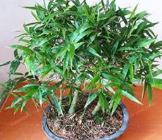 50PCS Bambusa Ventricosa Seed Bamboo Hardy Clumping Type