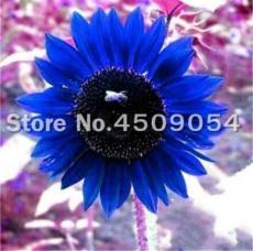 50PCS Dwarf Sunflower Seeds - Blue Flowers