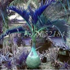 20PCS Bottle Palm Seeds - Blue Color
