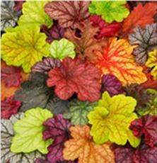 200PCS Heuchera 'Coral Bell' Seeds - Colorful