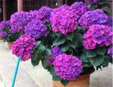 50PCS Hydrangea Seeds - Dark Purple Ball Type Flowers