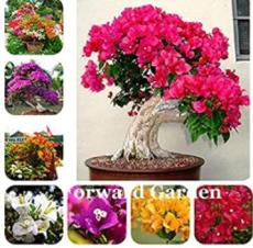 100PCS Thailand Bougainvillea Seed - Mixed Purple Red White Orange ect Colors