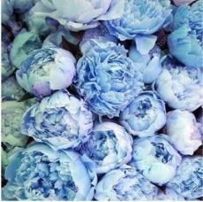 20PCS Chinese Paeonia Suffruticosa Peony Seeds - Light Blue Double Flowers Ball Type