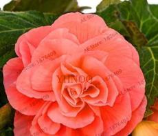 50PCS Camellia Flores Seeds - Bright Orange Color