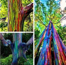 100PCS Rainbow Eucalyptus Seed Tropical Tree Seeds