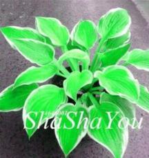 200PCS Hosta Seeds - Bright Fresh Green Color