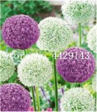 100PCS Giant Allium Plant Seeds - Mixed Light Purple and White Colors