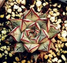 300PCS Echeveria Purpusorum Seeds Fresh Ones