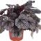 100PCS Heuchera micrantha Seeds - Gray Whitish Black Colors